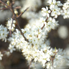 Blackthorn Tree Blossom