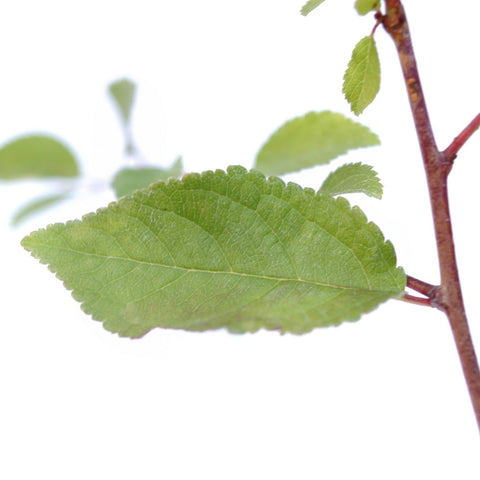 Blackthorn Tree Leaves