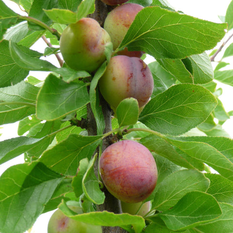 Plum Trees with Fruit