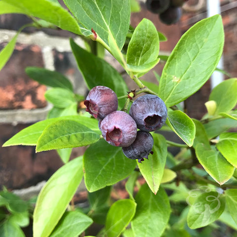 Blueberry Plant Gift