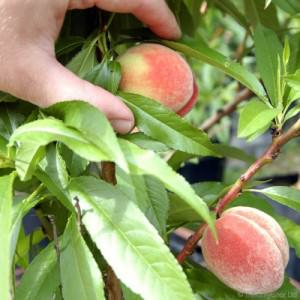 Hand Picked Peach