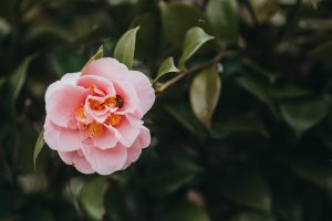 How to care for your camellia plant