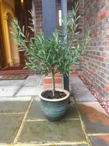 Small Olive Tree in a Blue Pot