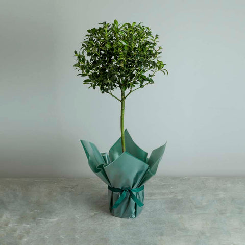 Christmas Holly Tree Gift