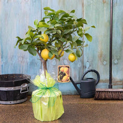 How to Care for Lemon Trees