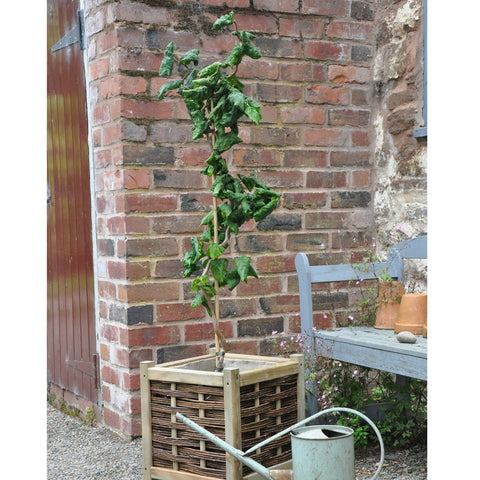 Corkscrew Hazel Tree Gift