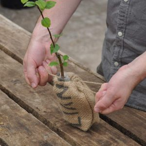 Crab Apple Sapling in a Jute Bag