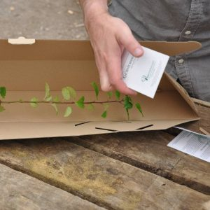 Crab Apple Sapling in a Box