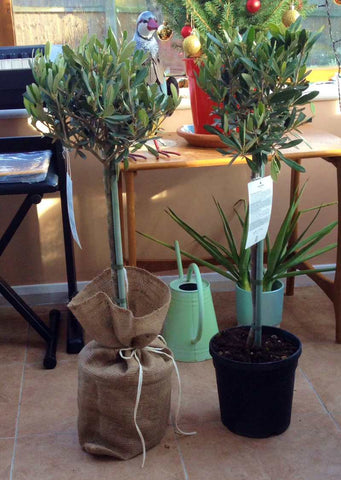 Pair of Olive Tree Gifts