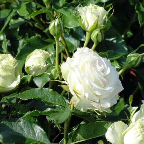 Diamond 60th Anniversary Rose Bush