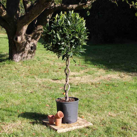 Double Stem Corkscrew Bay Tree