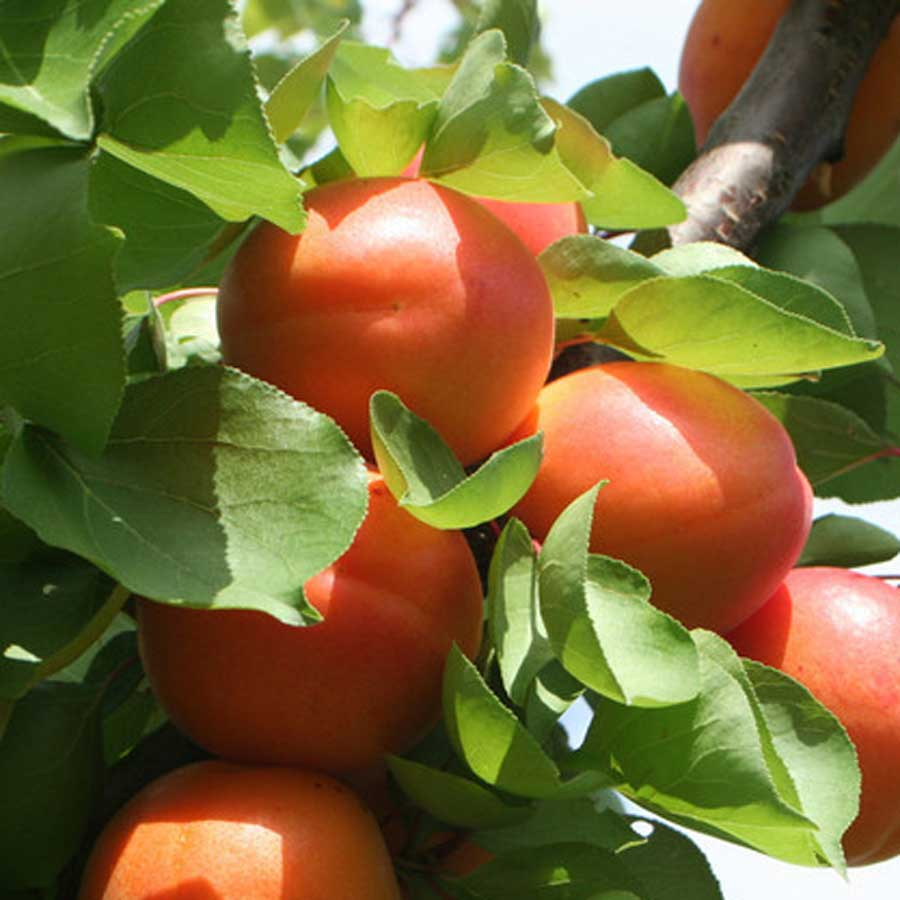 Send a Dwarf Apricot Tree Gift