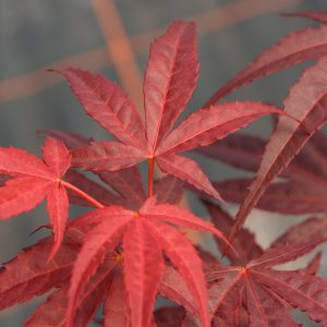 Red Enkan Japanese Maple Leaves