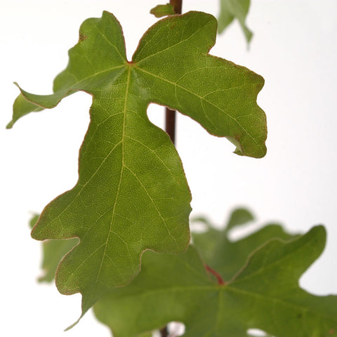 Field Maple Leaves