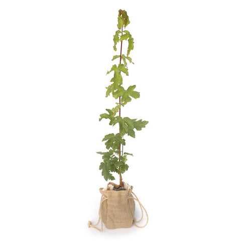 Field Maple Tree Sapling