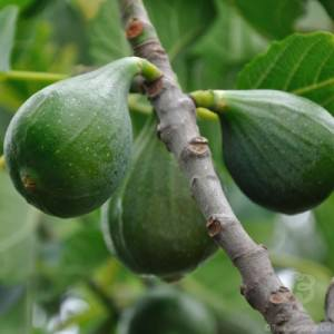 Fig Fruit on a Tree