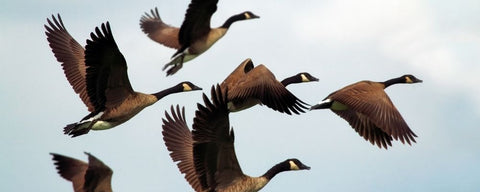 Winter weather folklore - geese flying south for the winter