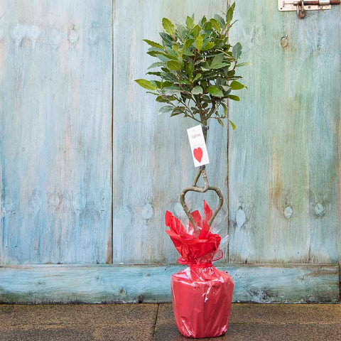 Love Heart Shaped Bay Tree Gift
