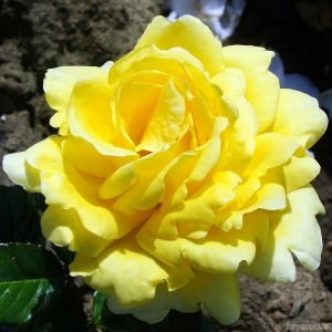 Buy Rose Bushes at Tree2mydoor