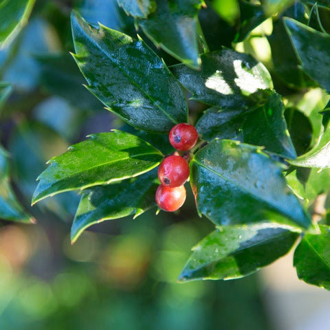 Holly Berries Growing on the Tree