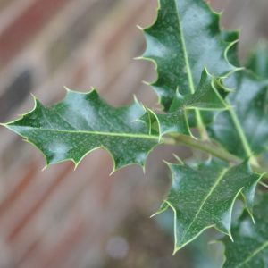 Evergreen Holly Leaves