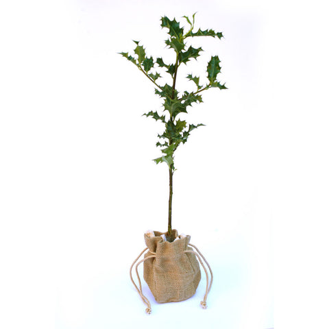 Christmas Holly Sapling Gift