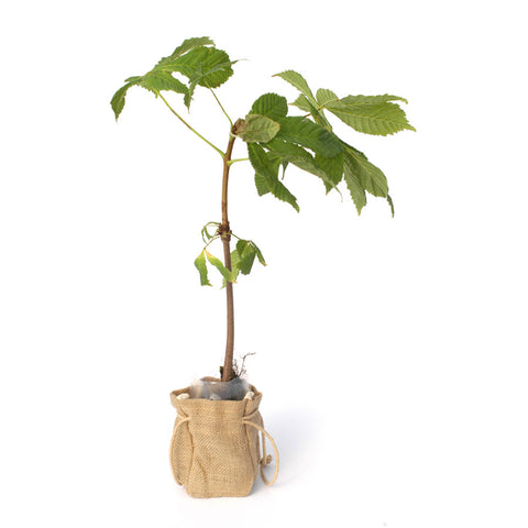 Horse Chestnut Tree Sapling