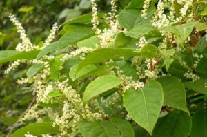 Japanese Knotweed April Fools Day