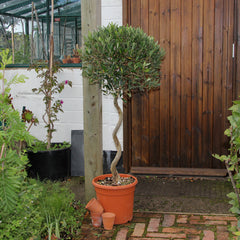 Large Twisted Stem Olive Tree