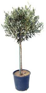 Buy an Olive Tree - Click Here