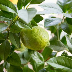 Add some zest to your garden with a lemon tree.