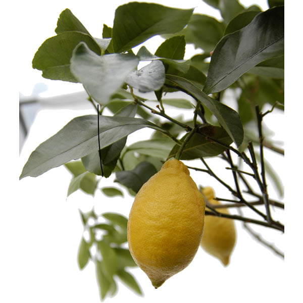Buy a Lemon Tree