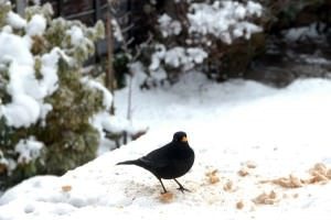 Male Blackbird in Snow