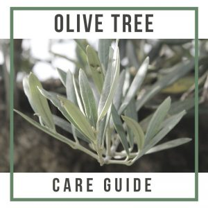 Olive Tree Care Guide