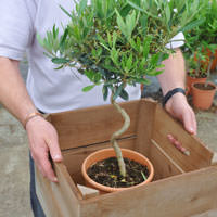 Twisted Stem Olive Tree