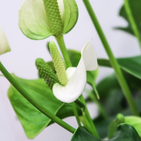 Peace Lily Blooms and Foliage