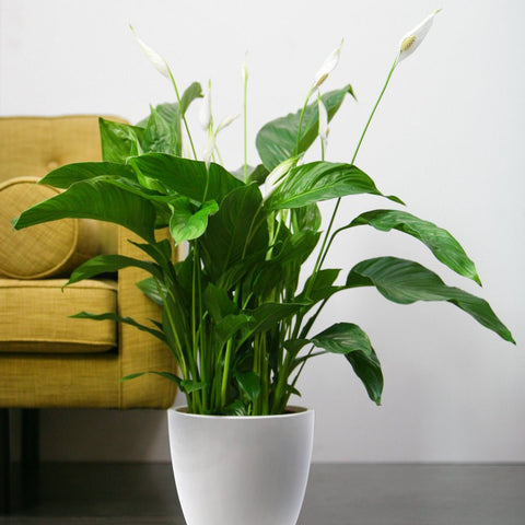 Peace Lily Plant Care | How to Care for a Peace Lily