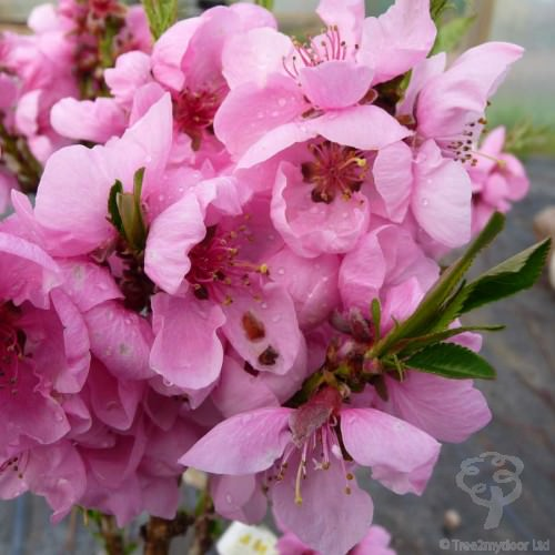 Send Your Mum A Peach Tree This Mothers Day