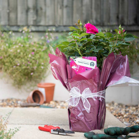 Perfect Match Rose Bush Gift