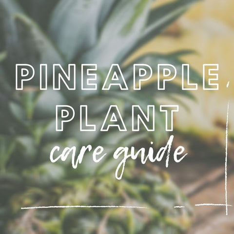 Pineapple Plant Care Guide