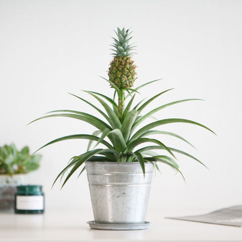 Pineapple Plant Gift