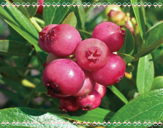 pink blueberry