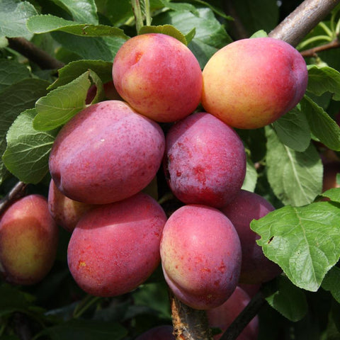 Victoria Plum Tree Care
