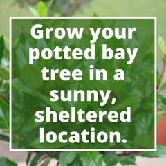 Pot Growing a Bay Tree