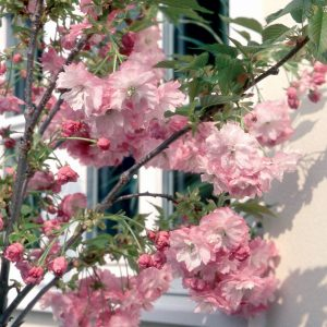 Pink Perfect Flowering Cherry Tree Blossom
