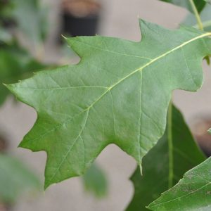 Red Oak Tree Leaf