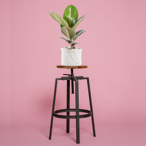 Trendy Rubber Plant on a Stool