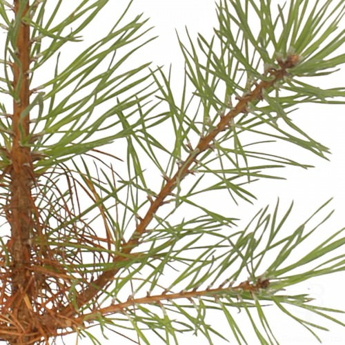 scots-pine-tree-close