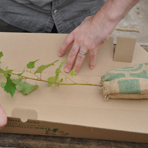 Silver Birch Sapling in a Box