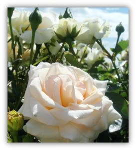 silver gift anniversary rose